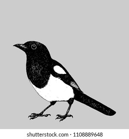Magpie pen drawing
