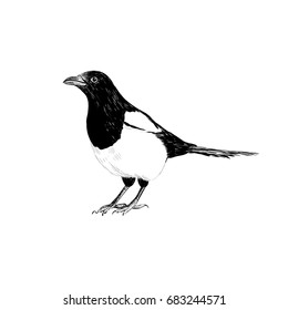 Magpie sketch. Magpie hand drawing vector illustration for your design