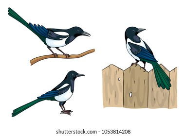 Magpies in different poses. Vector illustration. EPS8