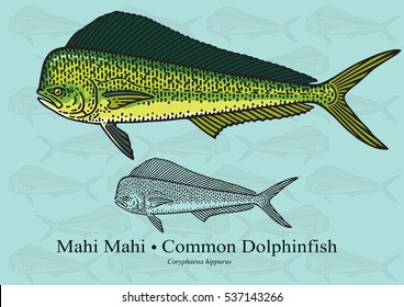 Mahi Mahi. Vector illustration with refined details and optimized stroke that allows the image to be used in small sizes (in packaging design, decoration, educational graphics, etc.)