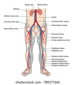 The main veins and arteries of the lower body, including the abdominal aorta, inferior vena cava, femoral artery and vein to the anterior and posterior tibial artery and vein of the lower leg