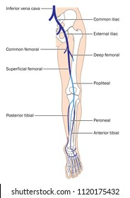 The main veins of the leg, from the foot to the inferior vena cava, including the femoral and iliac veins.