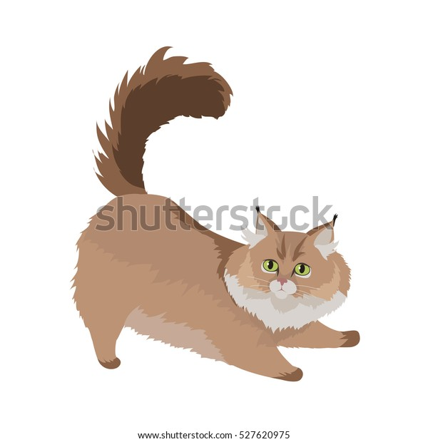 Maine Coon Cat Breed Cute Fluffy Stock Vector Royalty Free