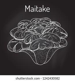Maitake mushroom (Grifola frondosa), or hen of the woods, medicinal plant. Hand drawn botanical vector illustration