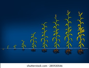 corn growth and development pdf
