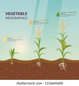 Maize growth stages as infographic poster. Corn roots in soil, inflorescence with tassel. Organic plant growing. Vegetarian nutrition or vegan food, farm and harvest, agriculture theme