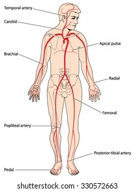 The major arteries and pulse points of the head, arms and legs.