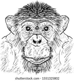A male Chimpanzee which is scientifically known as Pan troglodytes. Hand drawn vector illustration.