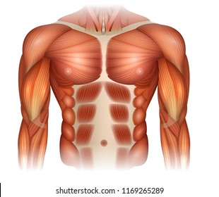 Male diastasis Recti also known as Diastasis Rectus Abdominus or abdominal separation, there is a gap between muscles