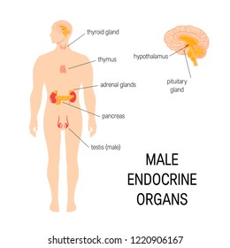 Male endocrine organs. Vector medical infographic in simple flat style.