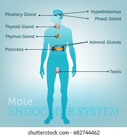 Male endocrine system. Human anatomy. Human silhouette with detailed internal organs. vector illustration isolated on a light blue background.