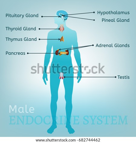 Male Endocrine System Human Anatomy Human Stock Vector Royalty Free