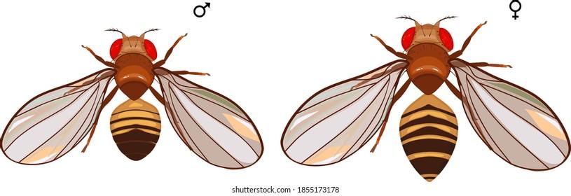 Male and female fruit fly (Drosophila melanogaster) isolated on white background