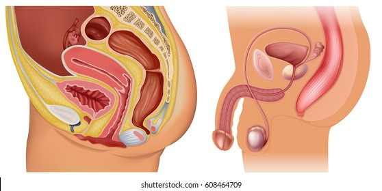 Male and female reproductive system diagrams