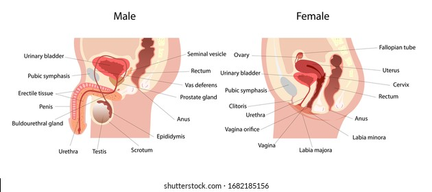 Male and female reproductive system median section with main parts labeled. Anatomy of the human body.  Biology education concept. Lateral views. Vector Illustration