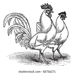 Male and female of White Leghorns (chicken), vintage engraving. Old engraved illustration of Male and female of White Leghorns chicken. Trousset encyclopedia (1886 - 1891).