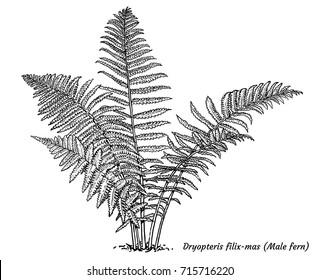Male fern illustration, drawing, engraving, ink, line art, vector