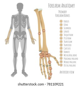 Male forearm bone anatomy. Anterior view  with primary bones names. Vector illustration with human skeleton scheme isolated on a white background.
