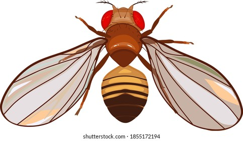 Male fruit fly (Drosophila melanogaster) isolated on white background