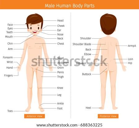Male Human Anatomy External Organs Body Stock Vector Royalty Free