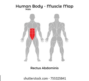 Male Human Body - Muscle map, Rectus Abdominis. Vector Illustration - EPS10.