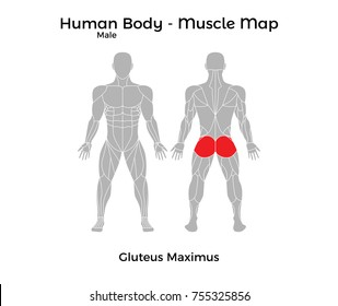 Male Human Body - Muscle map, Gluteus Maximus. Vector Illustration - EPS10.
