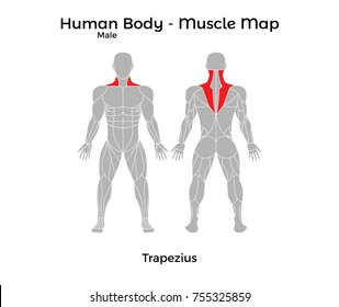 Male Human Body - Muscle map, Trapezius. Vector Illustration - EPS10.