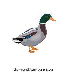 Male mallard duck. Vector illustration isolated on white background