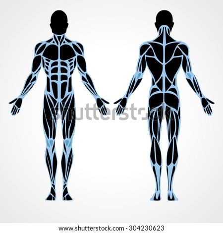 Male Muscular Anatomy Vector Scheme Posterior Stock Vector (Royalty ...