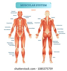 Male muscular system, full anatomical body diagram with muscle scheme, vector illustration educational poster. Fitness health care information.