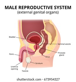 male reproductive system  anatomy of male organs, the structure of the  genitalia in the