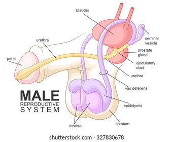 Male reproductive system images stock photos vectors shutterstock male reproductive system cartoon ccuart Images