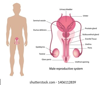 Male reproductive system, Human anatomy, vector illustration eps10