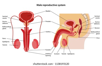 Male reproductive system with main parts labeled. Anterior and lateral views. Vector illustration