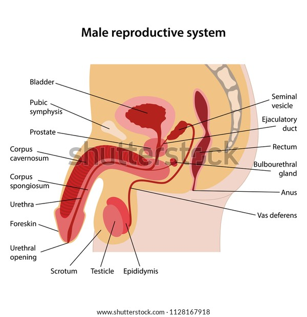 Female Anatomy Diagram Stock Photos U0026 Female Anatomy Manual Guide