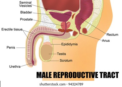 Male reproductive system images stock photos vectors shutterstock male reproductive system useful for education in schools and clinics vector illustration ccuart Choice Image