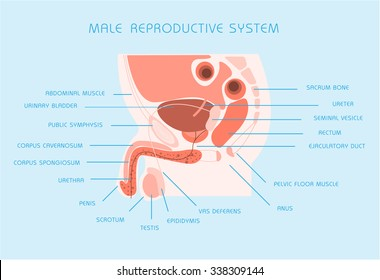 Male reproductive system images stock photos vectors shutterstock male reproductive system vector illustration ccuart Images