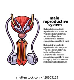 Male reproductive system, vector sketch hand-drawn illustration isolated on white background, isolated detailed color image of the male reproductive system, male health