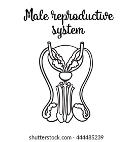 Male reproductive system, vector sketch hand-drawn illustration isolated on white background, isolated detailed image of the male reproductive system, male health
