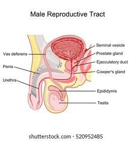 Male reproductive tract vector.
