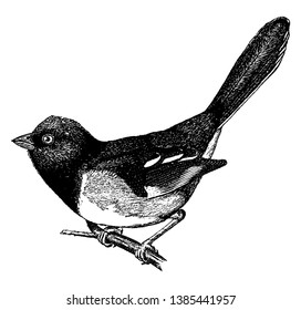 Male Towhee typically have longer tails than other emberizids, vintage line drawing or engraving illustration.