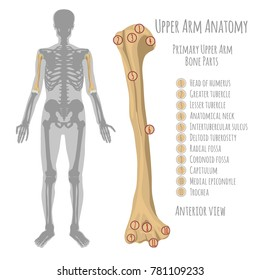 Male upper arm bone anatomy. Anterior view with primary bones names. Vector illustration with human skeleton scheme isolated on a white background.