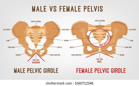 Male vs female pelvis. Main differences. Detailed vector illustration isolated on a light grey background. Medical and anatomical concept.