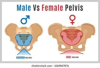 Male vs female pelvis. Main differences. Detailed vector illustration isolated on a white background. Medical and anatomical concept.