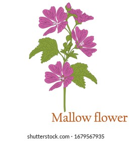 Mallow flower. Illustration of a plant with flowers for use in decorating, creating bouquets, cooking of medicinal and herbal tea.
