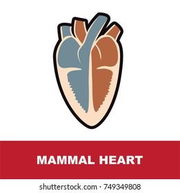 mammal heart anatomy vector illustration