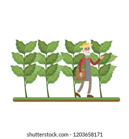 Man walking in the tobacco farm around green plant and harvest. Tobacco plantation and cultivation. Isolated flat vector illustration