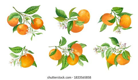 Mandarin Branches Vector Illustration. Botanical Vintage Fruits, Flowers and Leaves hand drawn in Watercolor Style for Design, Background, Floral Cover, Wedding Invitation, Birthday Party Graphic