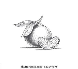 Mandarin hand illustration, vector image on white background