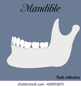 mandible - bite, closure of teeth - incisor, canine, premolar, molar upper and lower jaw. Vector illustration for print or design of the dental clinic